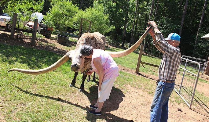 <p>Poncho enjoys a brush while Jeral Pope keeps a check on those horns{&nbsp;}(Guinness World Records)</p>
