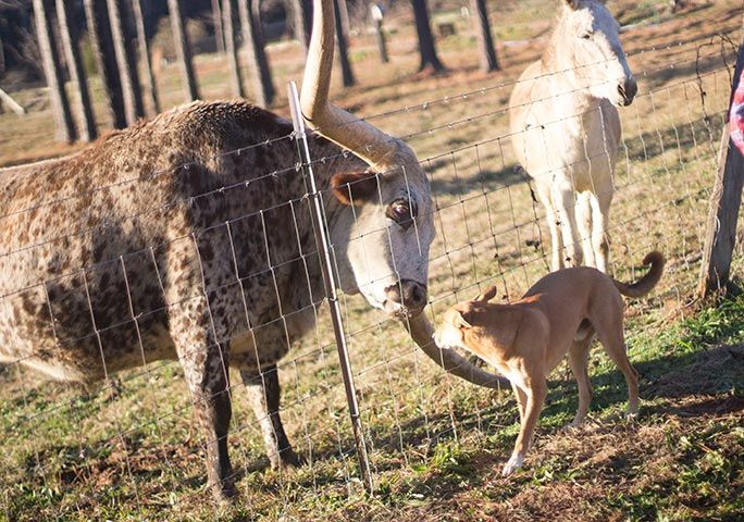 <p>Poncho shares the ranch with a range of other animals, including dogs and donkeys{&nbsp;}(Guinness World Records)</p>
