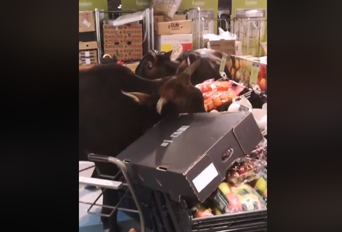 Cows break into grocery store, raid produce section( Photo: Stephen Law)