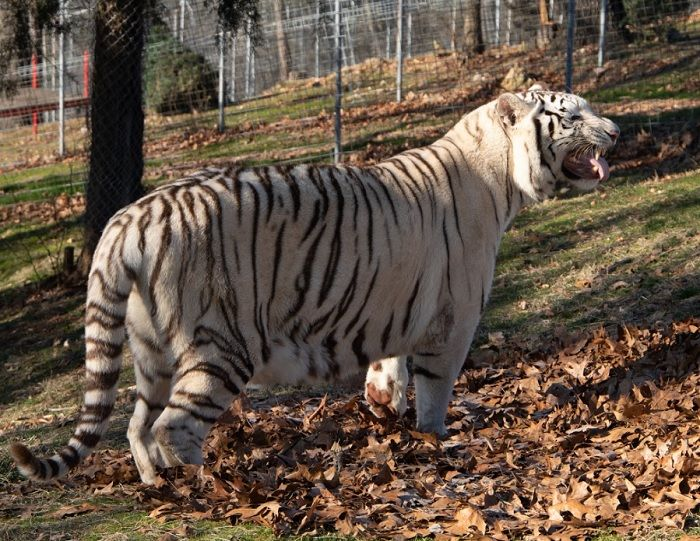 arkansas wildlife refuge rescues 2 white tigers from