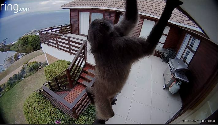 Baboon caught on camera trying to break into a home in South Africa. (RING)