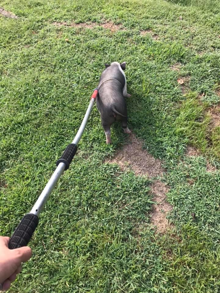 A pig's freedom is short-lived after being captured. (Charleston Police Department)