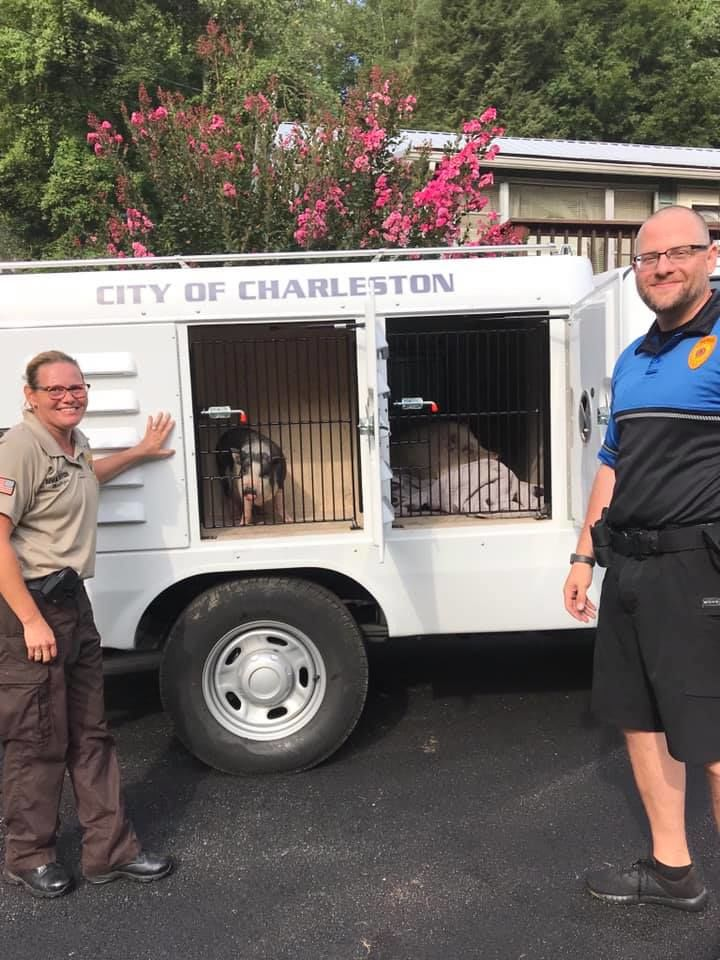 City Humane Officer Khrista Messinger and Sgt. Jason Webb worked with residents to capture a sow and a piglet running loose Monday on South Park Road. (Charleston Police Department)