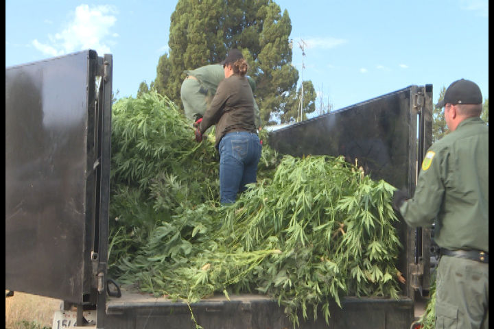 Trailers of illegal Marijuana that was cut down and taken away to be destroyed. (Carsyn/News 10)<p></p>