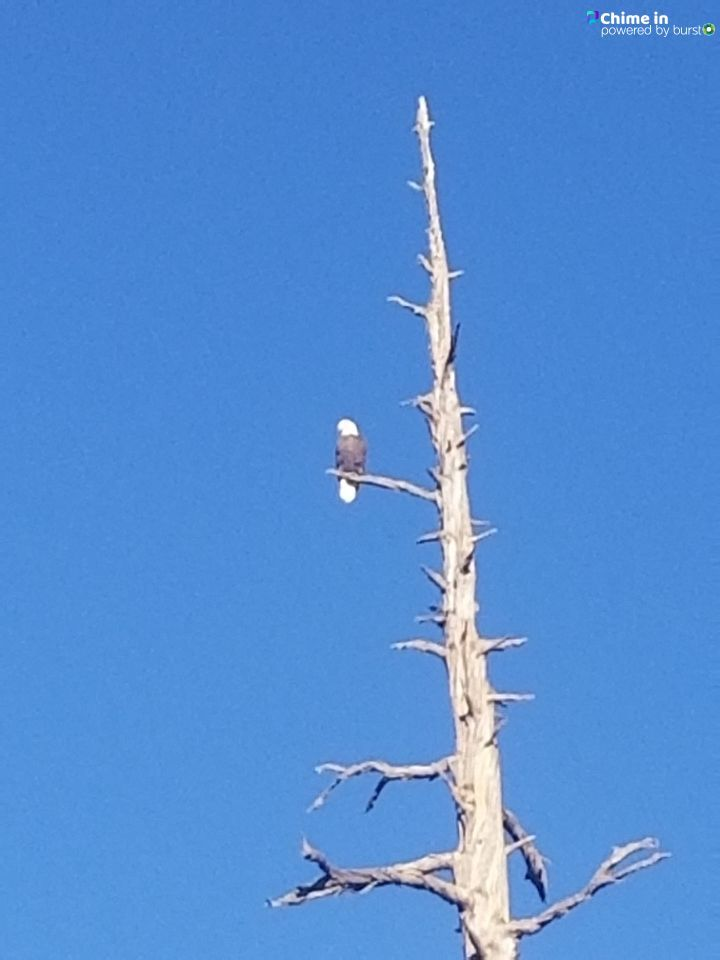 Lani Lavonne Anderson shared this photo of a bald eagle perched on a snag in the Deschutes National Forest in Central Oregon via the CHIME IN tab on our website.