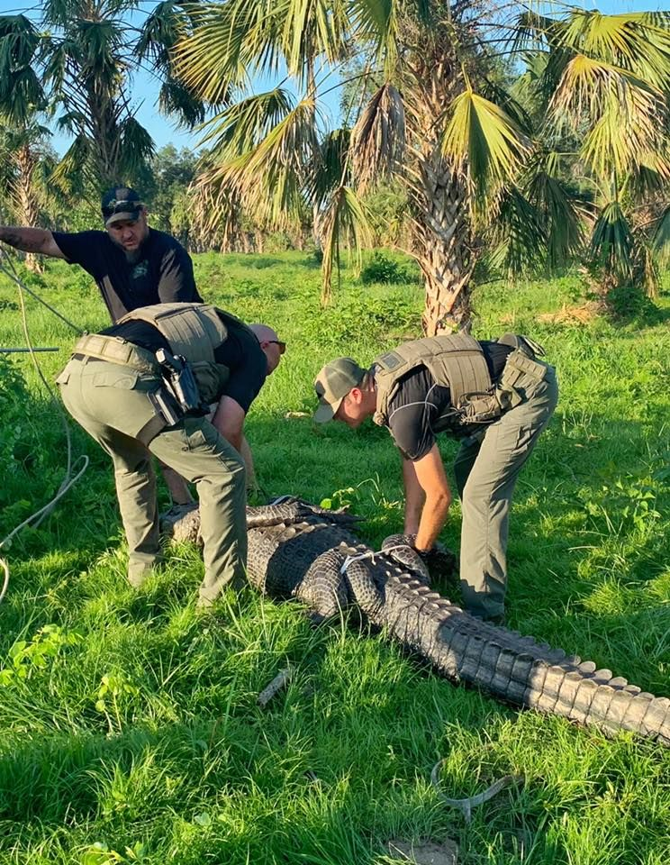 Deputies say they received a call about an 11-foot 6-inch alligator roaming the streets of Ocala. (Marion County Sheriff's Office)