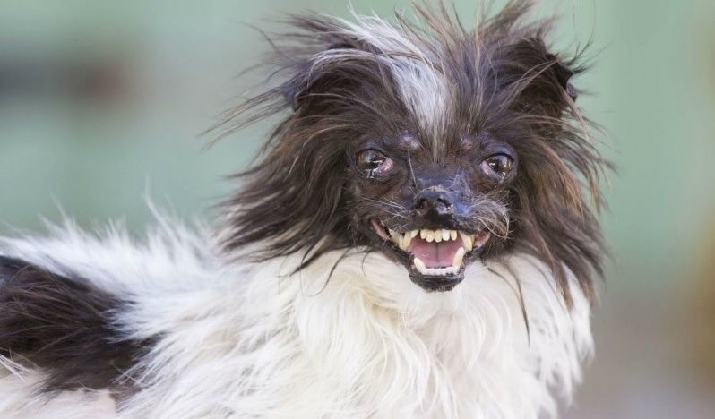 A woman in Greenville, S.C. entered her dog Peanut into the 2014 World's Ugliest Dog Contest. (Photo: WCTI)