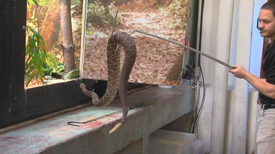 A snake handler at the Tulsa Zoo puts a snake back into its exhibit. (KTUL photo)