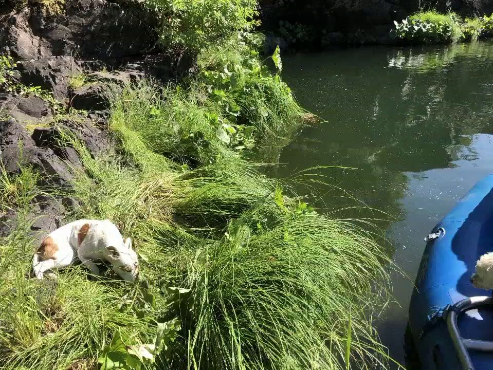 Fly-Fishing Guide Jack Trout was on the upper-Sacramento River when his client spotted a dog on a patch of grass perched on a rock above the riverbank. (Photo: KRCR)