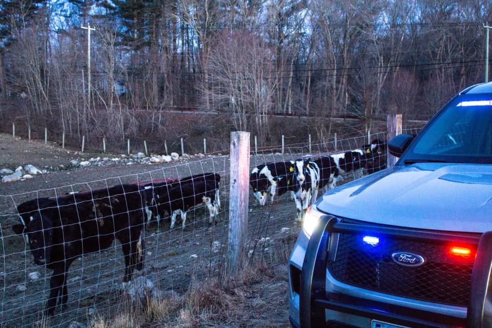 Connecticut State Police said some cows found along Route 184 in North Stonington were safely escorted back to their pasture. (Connecticut State Police photo)<p></p>