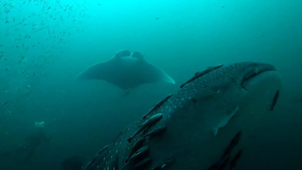 While diving with a local dive shop in Destin, Florida, Alex Fogg spotted a manta ray and whale shark swimming together. (Courtesy: Alex Fogg){&nbsp;}<p></p>