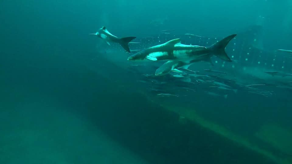 While diving with a local dive shop in Destin, Florida, Alex Fogg spotted a manta ray and whale shark swimming together. (Courtesy: Alex Fogg)