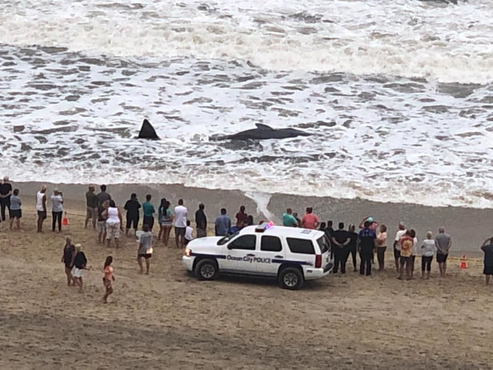 Whale reported stranded along Ocean City shoreline (High Point South Condominium, Ocean City, Maryland photo)