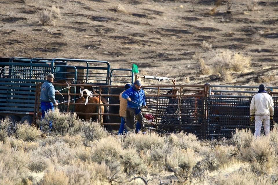 Horses being rounded up by wranglers and members of the tribe.