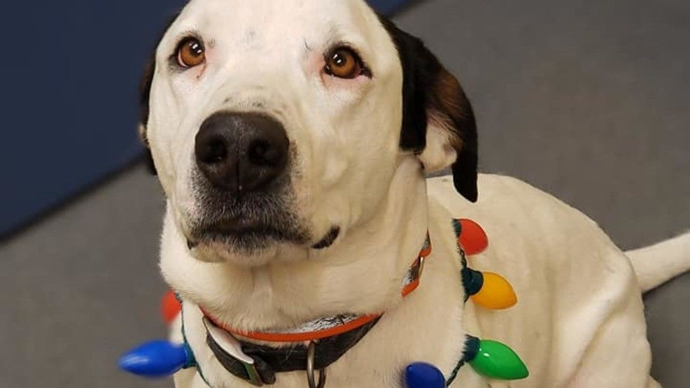 Tank is looking for a home in time for Christmas. (Humane Society of Amherst County)