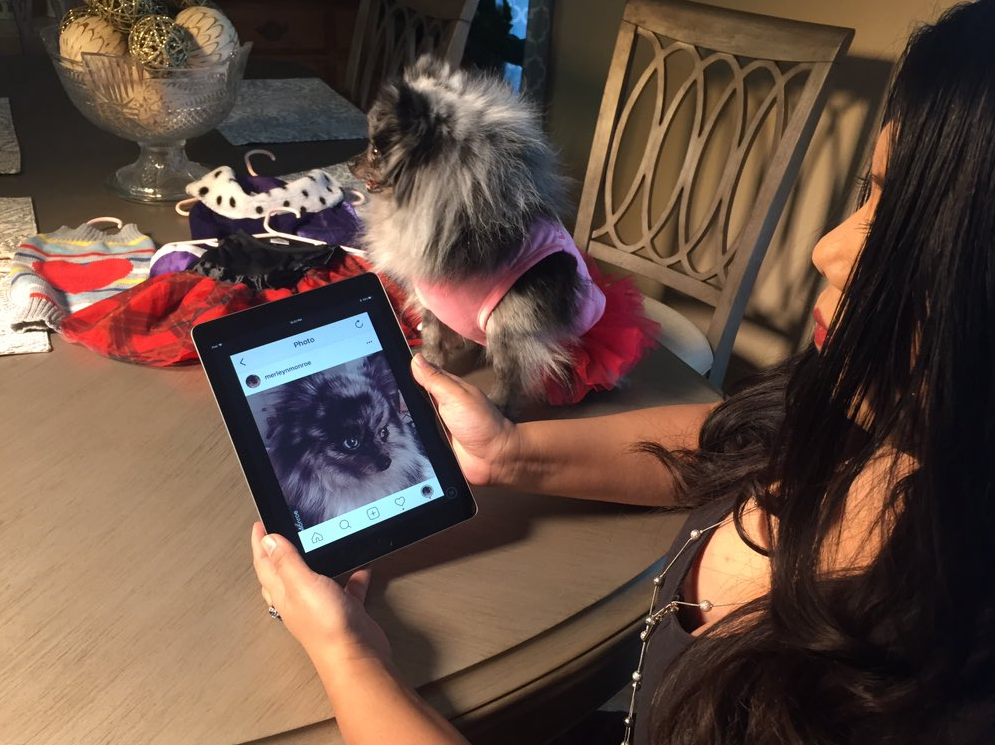 PAMPERED POOCH: A Pomeranian rescued from the back of a U-Haul truck is now living the lavish life in her new Las Vegas home. 3-year-old Merlelyn Monroe has a gold bed & her own Instagram account. (Kelsey Thomas | KSNV)